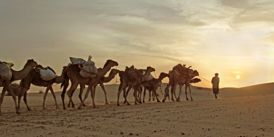 Camel Caravan Travelling Through Desert