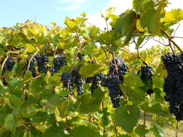 grapes-fall-late-2011-jthull