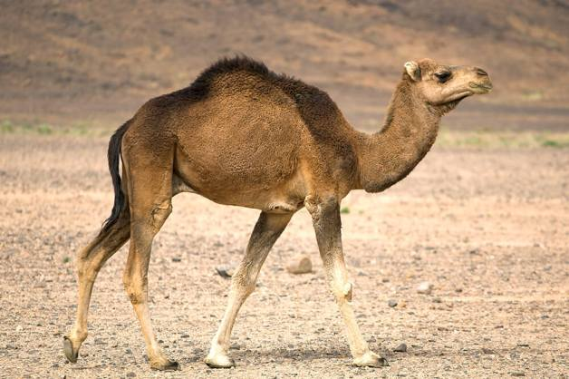camel_dromedary