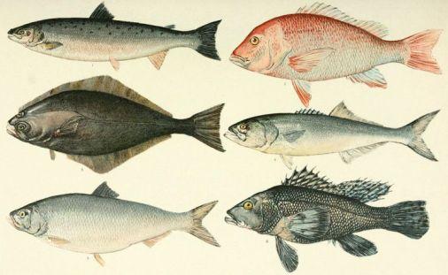 NIE_1905_Fish_as_Food_-_American_food-fishes-5904bb535f9b5810dc7f5c4b