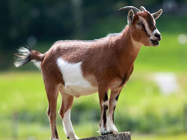 08-1381228576-goat-pic5-07-1496832591