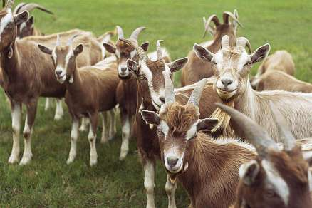 goats-resized-57bb57ee3df78c8763fba0c8