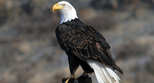 1bald-eagleUSFWS-630x339