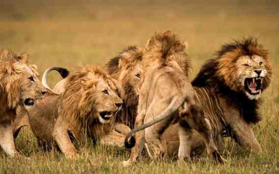 lion-behaviour
